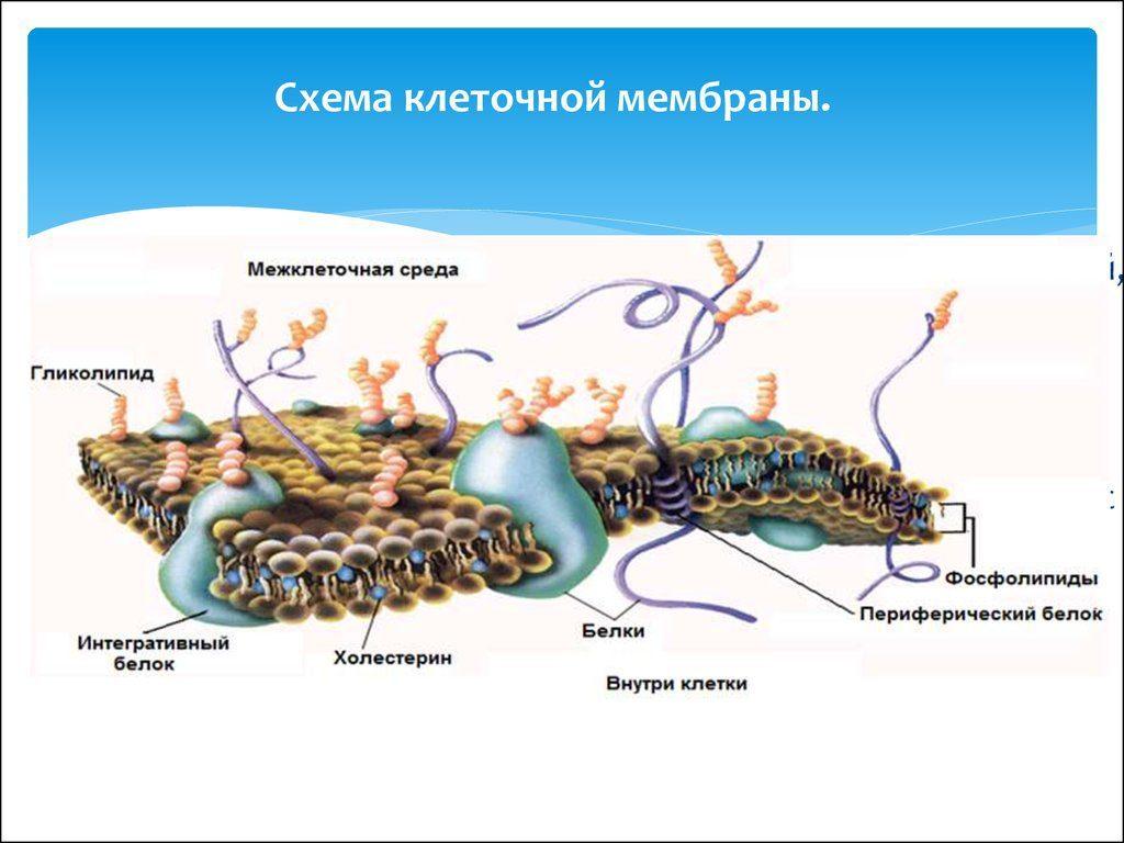 схема клеточной мембраны